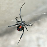 Araña, araña roja-detrás, femenina australiana en descanso en el web Fotografía de archivo