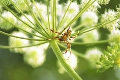 Araña (Araneidae). Fotografía de archivo