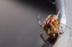 Araña asustadiza Imagen de archivo libre de regalías