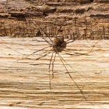 Araña asustadiza grande Fotografía de archivo