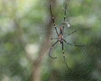 Araña azul y amarilla en el spiderweb Foto de archivo libre de regalías