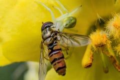 Araña blanca con la mosca en la flor anaranjada imagen de archivo libre de regalías