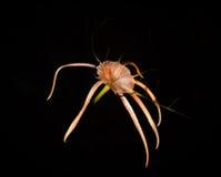 Araña blanca Lilly Flower con los pétalos mojados en la oscuridad Fotos de archivo libres de regalías