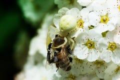 Araña blanca que come la abeja Imagen de archivo