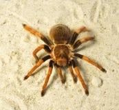 Araña (boehmei de Brachypelma) Fotos de archivo libres de regalías