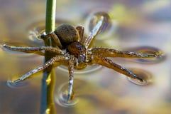 Araña británica de la balsa que descansa sobre el agua y la búsqueda Fotografía de archivo