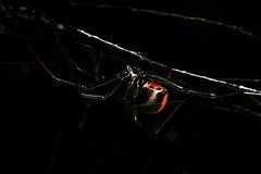 Araña, caza roja-detrás, femenina en la noche Imagen de archivo