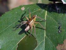 Araña-cazador con un trofeo Foto de archivo libre de regalías
