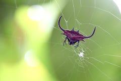 Araña claveteada roja del tejedor del orbe foto de archivo