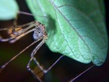 Araña común Imagen de archivo