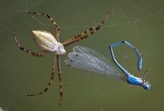 Araña con el damselfly fotografía de archivo
