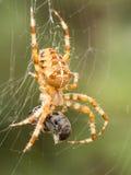 Araña con la avispa como presa Imagen de archivo