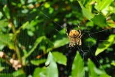 Araña con la red Foto de archivo libre de regalías