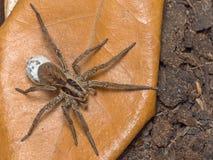 Araña con su saco del huevo imágenes de archivo libres de regalías