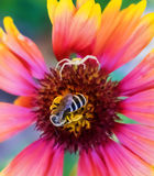 Araña contra abeja Imagen de archivo