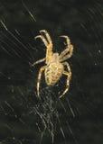 Araña cruzada Fotografía de archivo libre de regalías