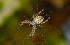 Araña cruzada Foto de archivo libre de regalías