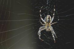 Araña cruzada Imagen de archivo libre de regalías