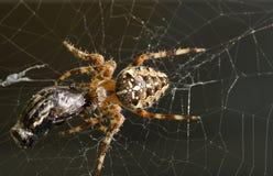 Araña cruzada Imágenes de archivo libres de regalías