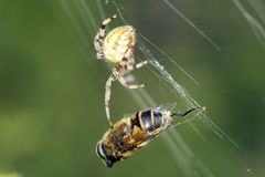 Araña cruzada con su presa Araña que come una abeja Imágenes de archivo libres de regalías