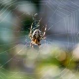 Araña cruzada en el web Imagenes de archivo