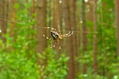 Araña cruzada en fondo del bosque Imagenes de archivo