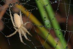 Araña cubierta con rocío Fotografía de archivo