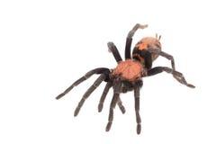 Araña Cyclosternum Davus Fasciatum Fotografía de archivo