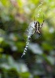 Araña de Aurantia del Argiope en Web Imagen de archivo libre de regalías