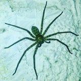 Araña de Blucky fotos de archivo