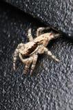 Araña de Brown Fotografía de archivo libre de regalías