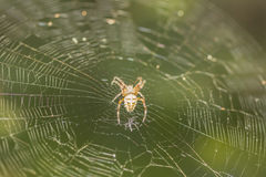 Araña de Brown Fotografía de archivo