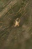 Araña de Brown Imagen de archivo libre de regalías