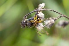 Araña de caza bordeada - macro Fotos de archivo