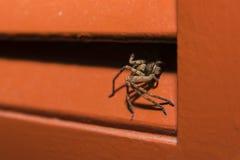 Araña de caza que está al acecho en la sombra 1 Imagen de archivo