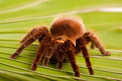 Araña de Gigant en la hoja imagen de archivo libre de regalías
