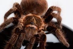 Araña de Gigant en la madera imágenes de archivo libres de regalías