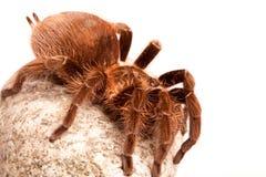 Araña de Gigant en roca fotografía de archivo