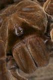 Araña de Goliath foto de archivo libre de regalías