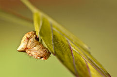 Araña de granero que intenta ocultar en la hierba Imagenes de archivo