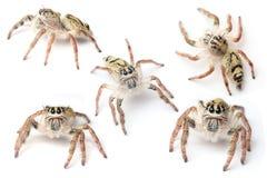 Araña de Hyllus Foto de archivo