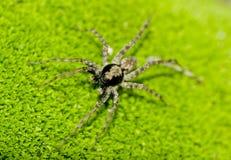 Araña de jardín común Imagenes de archivo