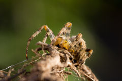 Araña de jardín común Fotos de archivo
