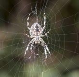 Araña de jardín común Fotos de archivo libres de regalías