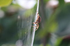 Araña de jardín del diadematus del Araneus Fotografía de archivo