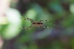 Araña de jardín en su Web Imagenes de archivo