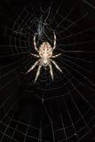 Araña de jardín en Web Foto de archivo