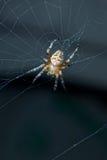Araña de jardín en Web Imagenes de archivo