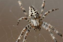 Araña de jardín europea foto de archivo