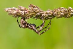 Araña de jardín europea Fotografía de archivo